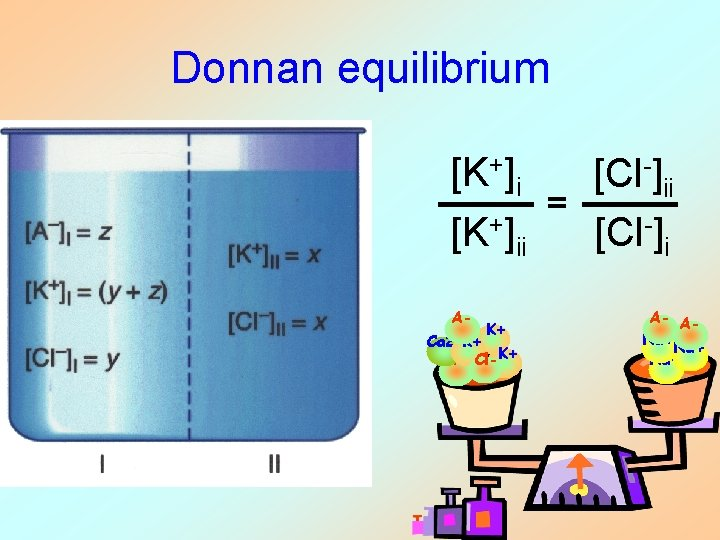 Donnan equilibrium [K+]i [Cl-]ii = [K+]ii [Cl-]i A- K+ Ca 2+K+ A- Cl-K+ A-