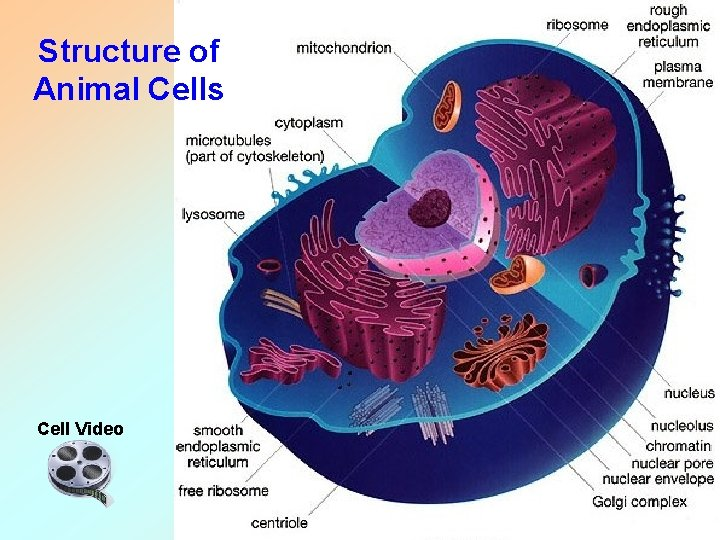 Structure of Animal Cells Cell Video