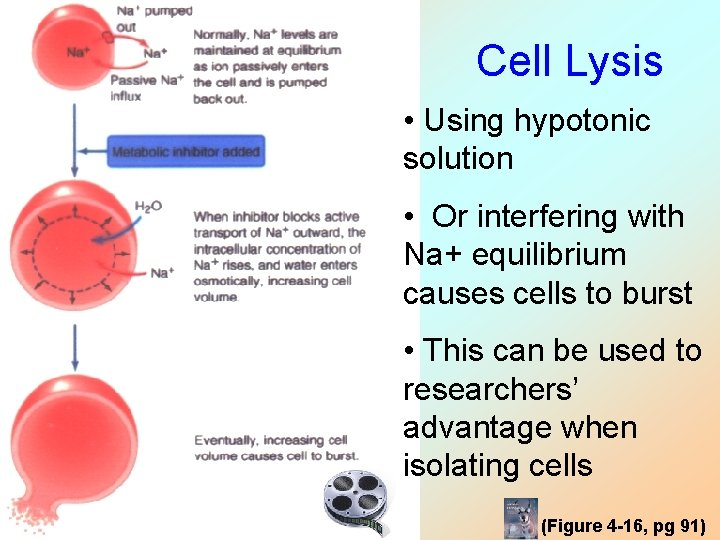 Cell Lysis • Using hypotonic solution • Or interfering with Na+ equilibrium causes cells