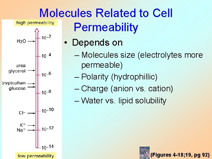 Molecules Related to Cell Permeability • Depends on – Molecules size (electrolytes more permeable)