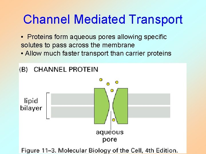 Channel Mediated Transport • Proteins form aqueous pores allowing specific solutes to pass across