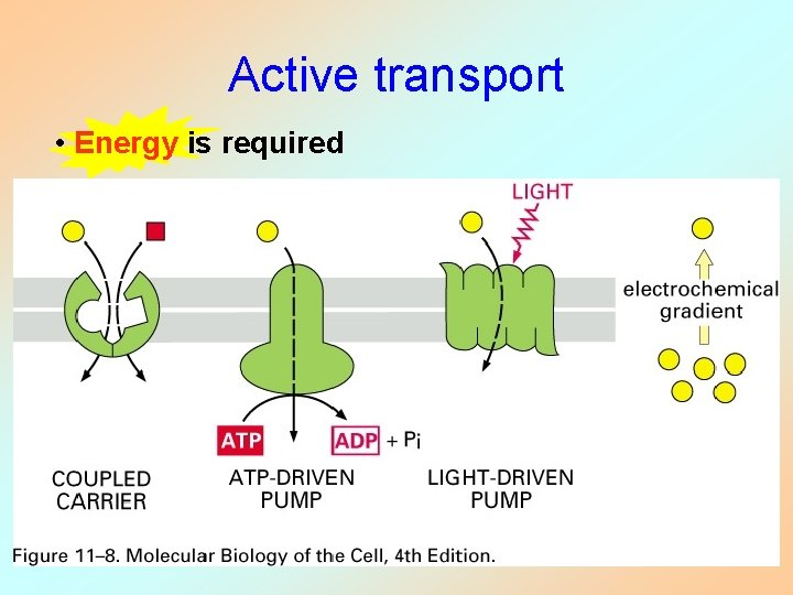 Active transport • Energy is required
