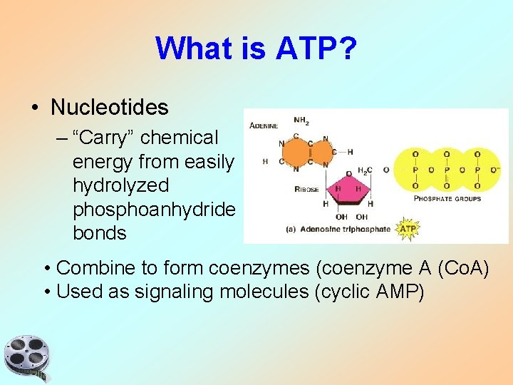 """What is ATP? • Nucleotides – """"Carry"""" chemical energy from easily hydrolyzed phosphoanhydride bonds"""