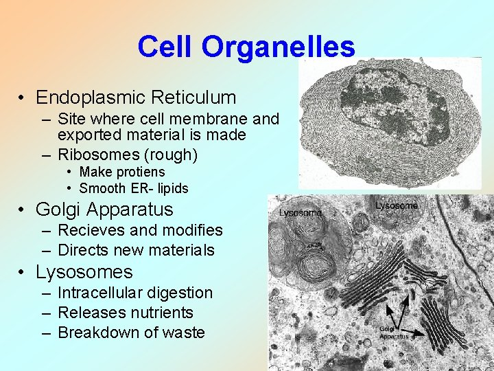Cell Organelles • Endoplasmic Reticulum – Site where cell membrane and exported material is