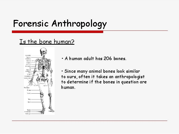 Forensic Anthropology Is the bone human? • A human adult has 206 bones. •