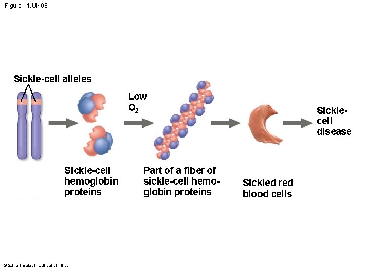 Figure 11. UN 08 Sickle-cell alleles Low O 2 Sickle-cell hemoglobin proteins © 2016
