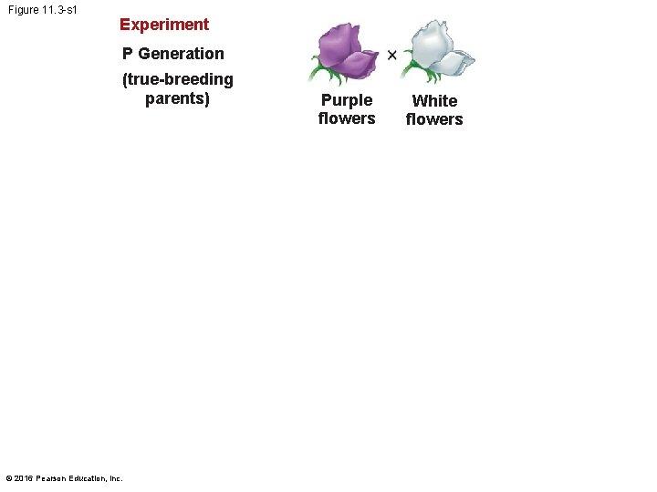 Figure 11. 3 -s 1 Experiment P Generation (true-breeding parents) © 2016 Pearson Education,