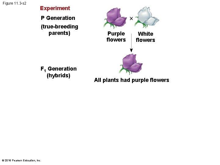 Figure 11. 3 -s 2 Experiment P Generation (true-breeding parents) F 1 Generation (hybrids)