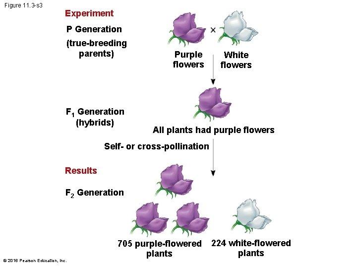 Figure 11. 3 -s 3 Experiment P Generation (true-breeding parents) F 1 Generation (hybrids)