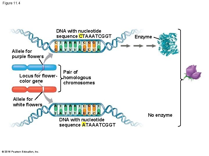 Figure 11. 4 DNA with nucleotide sequence CTAAATCGGT Enzyme C T A A A