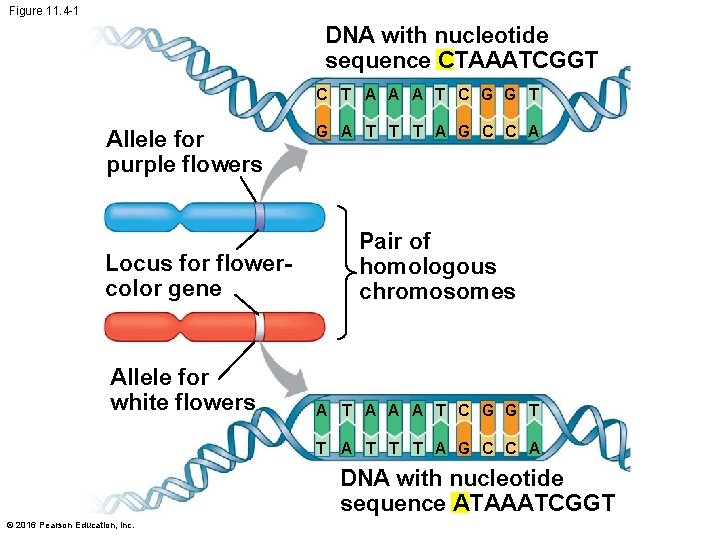 Figure 11. 4 -1 DNA with nucleotide sequence CTAAATCGGT C T A A A