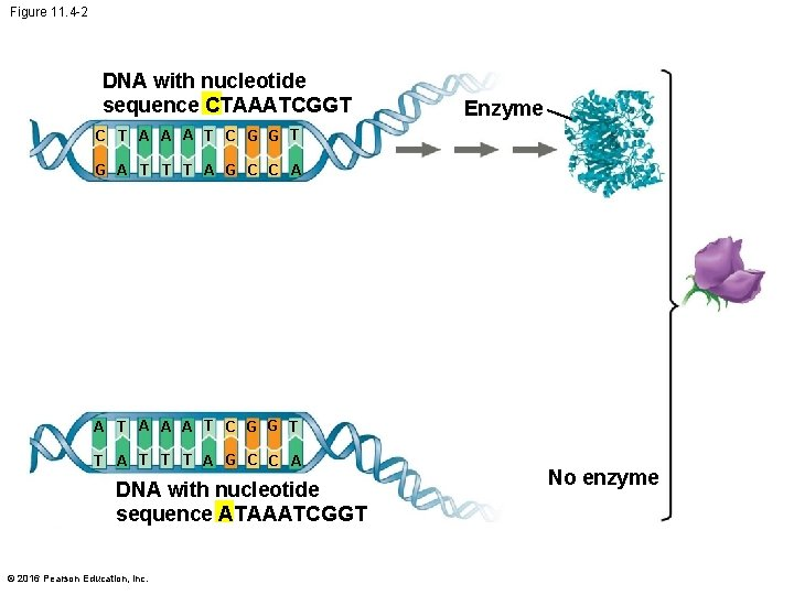 Figure 11. 4 -2 DNA with nucleotide sequence CTAAATCGGT Enzyme C T A A