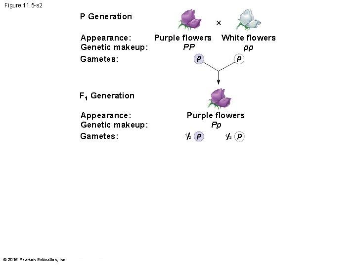 Figure 11. 5 -s 2 P Generation Appearance: Purple flowers PP Genetic makeup: Gametes: