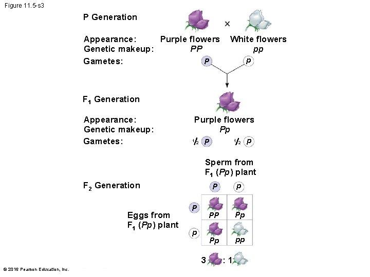 Figure 11. 5 -s 3 P Generation Appearance: Purple flowers PP Genetic makeup: Gametes: