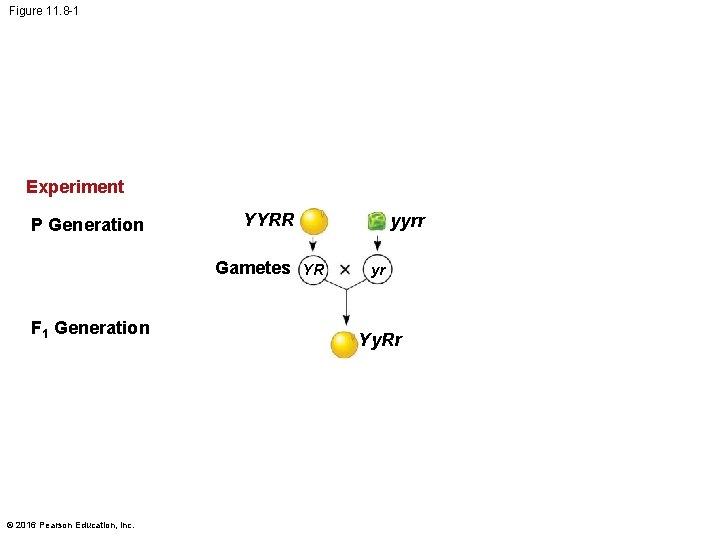 Figure 11. 8 -1 Experiment P Generation YYRR Gametes YR F 1 Generation ©