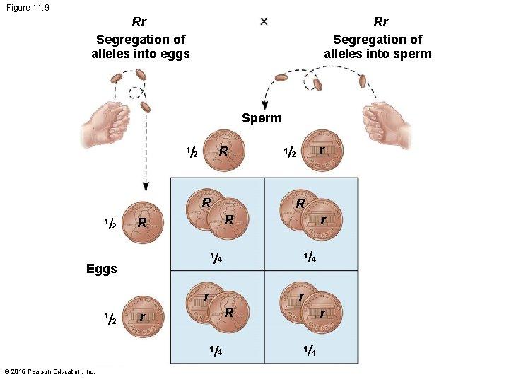 Figure 11. 9 Rr Segregation of alleles into eggs Rr Segregation of alleles into