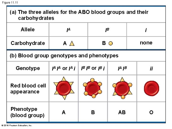 Figure 11. 11 (a) The three alleles for the ABO blood groups and their