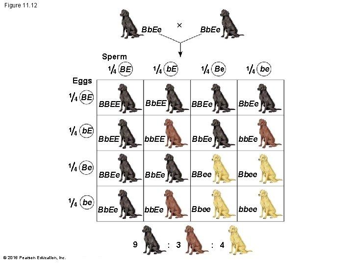 Figure 11. 12 Bb. Ee Sperm 1 4 BE 1 4 b. E 1
