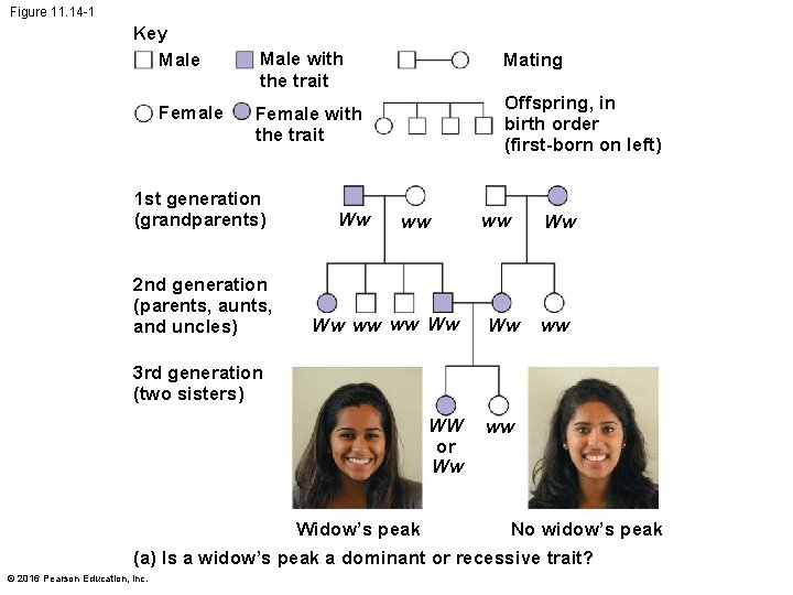 Figure 11. 14 -1 Key Male Female Male with the trait Mating Offspring, in