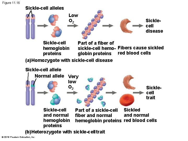 Figure 11. 16 Sickle-cell alleles Low O 2 Sicklecell disease Sickle-cell Part of a