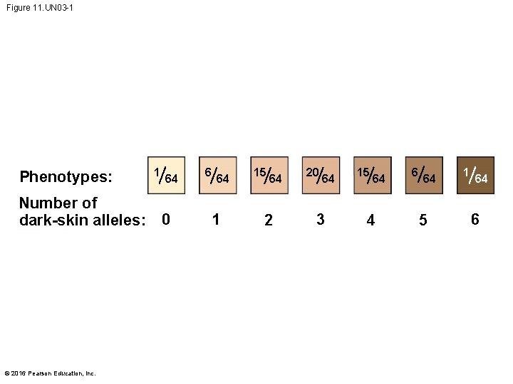 Figure 11. UN 03 -1 Phenotypes: 1 64 Number of dark-skin alleles: 0 ©