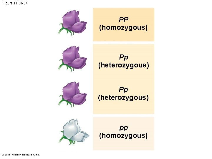 Figure 11. UN 04 PP (homozygous) Pp (heterozygous) pp (homozygous) © 2016 Pearson Education,