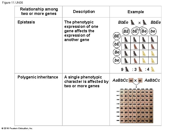 Figure 11. UN 06 Relationship among two or more genes Epistasis Description The phenotypic