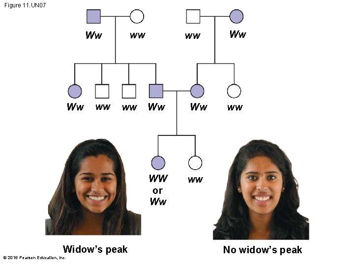 Figure 11. UN 07 ww Ww Ww ww ww Widow's peak © 2016 Pearson