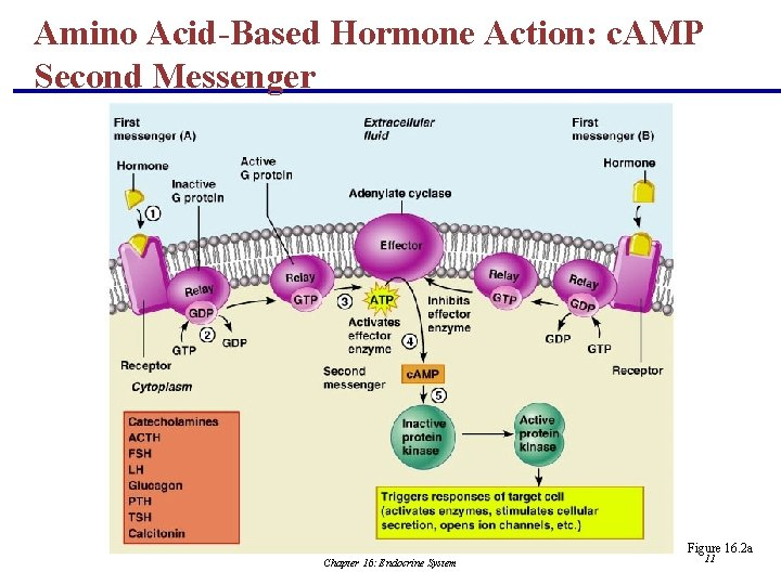 Amino Acid-Based Hormone Action: c. AMP Second Messenger Figure 16. 2 a Chapter 16: