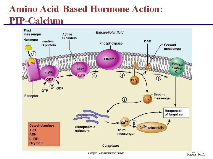 Amino Acid-Based Hormone Action: PIP-Calcium Chapter 16: Endocrine System 13 Figure 16. 2 b