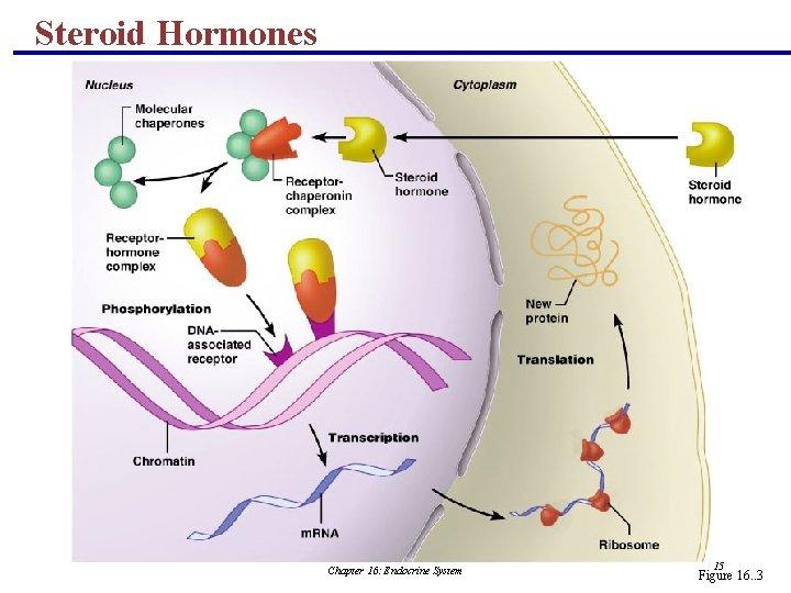 Steroid Hormones Chapter 16: Endocrine System 15 Figure 16. . 3