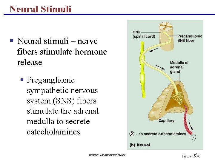 Neural Stimuli § Neural stimuli – nerve fibers stimulate hormone release § Preganglionic sympathetic