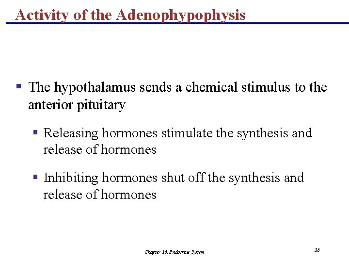 Activity of the Adenophypophysis § The hypothalamus sends a chemical stimulus to the anterior