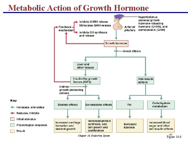 Metabolic Action of Growth Hormone Chapter 16: Endocrine System 41 Figure 16. 6