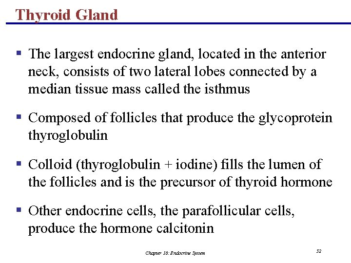 Thyroid Gland § The largest endocrine gland, located in the anterior neck, consists of