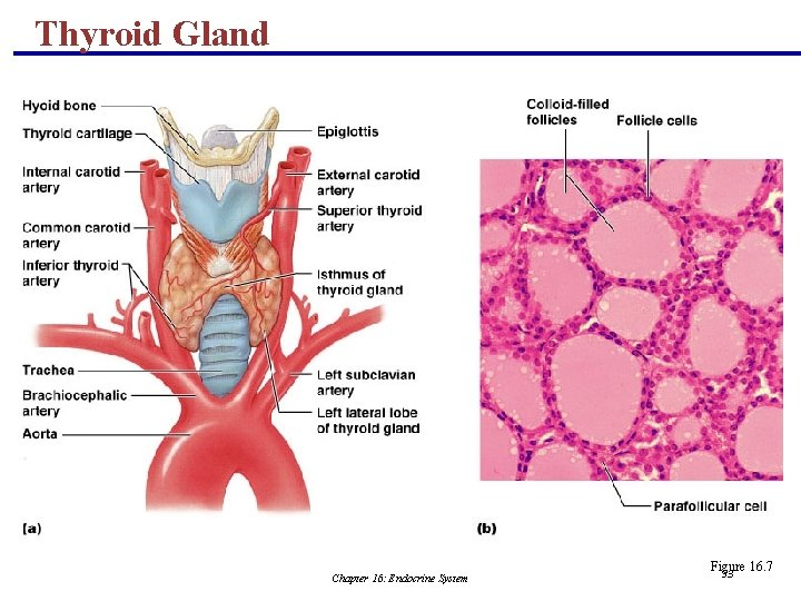 Thyroid Gland Chapter 16: Endocrine System Figure 16. 7 53