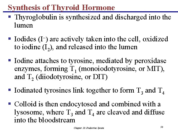 Synthesis of Thyroid Hormone § Thyroglobulin is synthesized and discharged into the lumen §