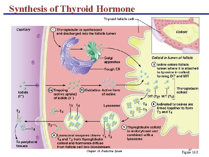Synthesis of Thyroid Hormone Chapter 16: Endocrine System 57 Figure 16. 8