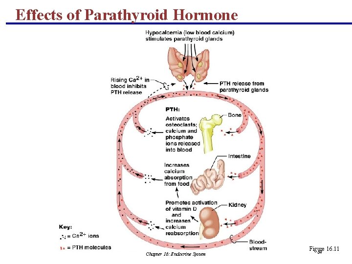 Effects of Parathyroid Hormone Chapter 16: Endocrine System Figure 16. 11 64