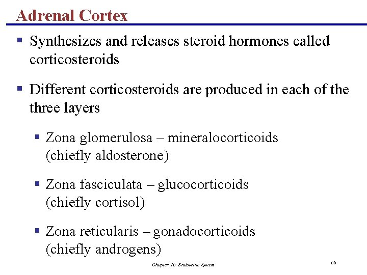 Adrenal Cortex § Synthesizes and releases steroid hormones called corticosteroids § Different corticosteroids are