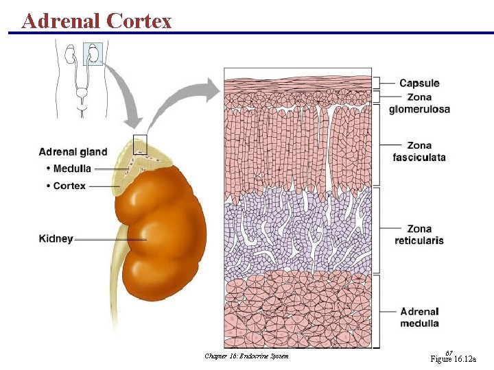 Adrenal Cortex Chapter 16: Endocrine System 67 Figure 16. 12 a