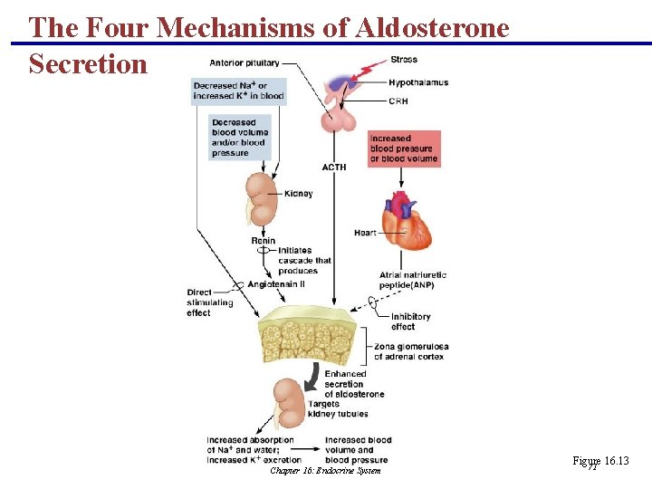 The Four Mechanisms of Aldosterone Secretion Chapter 16: Endocrine System Figure 16. 13 71