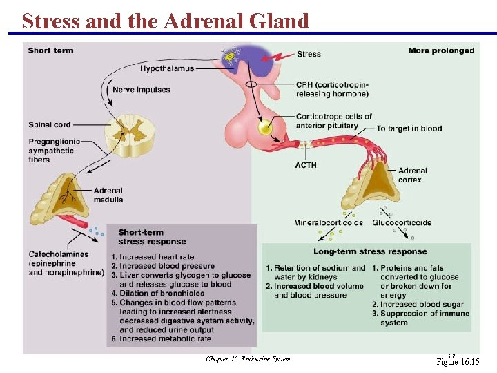 Stress and the Adrenal Gland Chapter 16: Endocrine System 77 Figure 16. 15