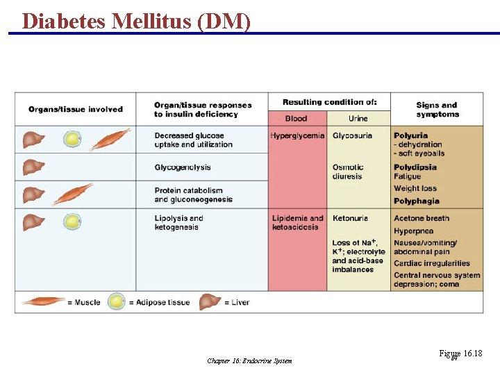 Diabetes Mellitus (DM) Chapter 16: Endocrine System Figure 16. 18 84