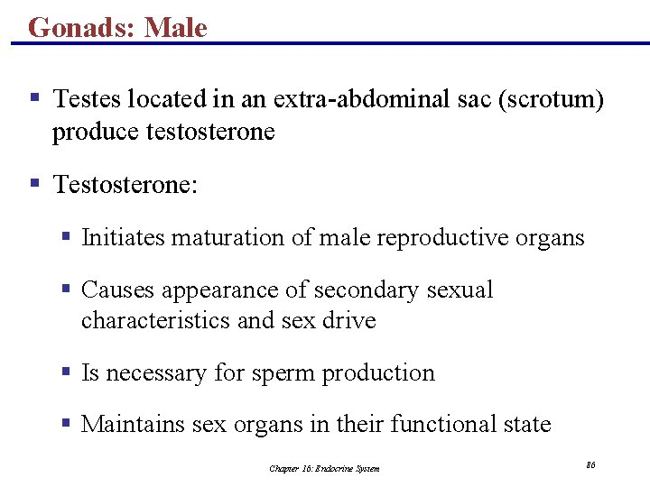 Gonads: Male § Testes located in an extra-abdominal sac (scrotum) produce testosterone § Testosterone: