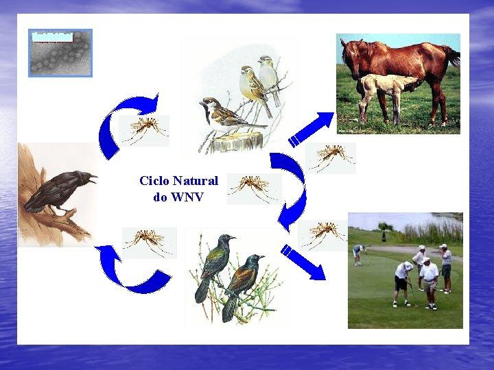 Ciclo Natural do WNV