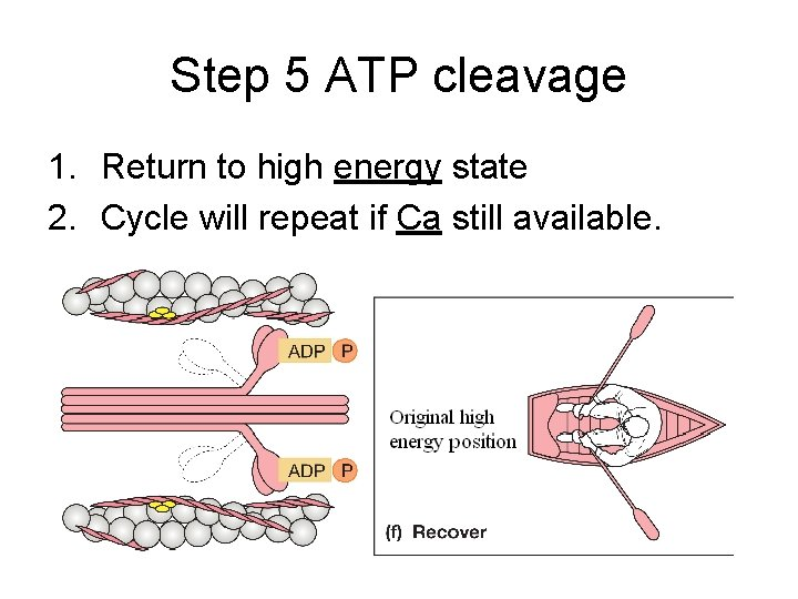 Step 5 ATP cleavage 1. Return to high energy state 2. Cycle will repeat