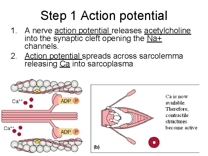Step 1 Action potential 1. A nerve action potential releases acetylcholine into the synaptic
