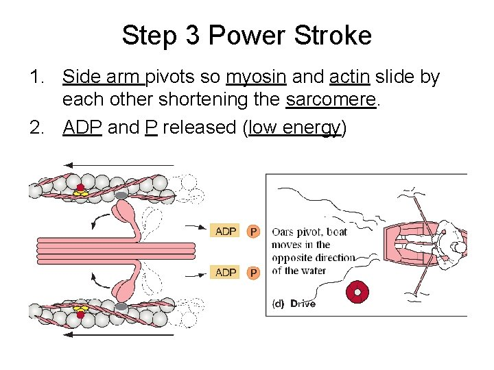 Step 3 Power Stroke 1. Side arm pivots so myosin and actin slide by