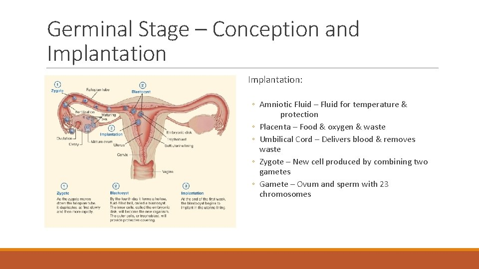Germinal Stage – Conception and Implantation: ◦ Amniotic Fluid – Fluid for temperature &